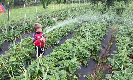 когда поливать клубнику