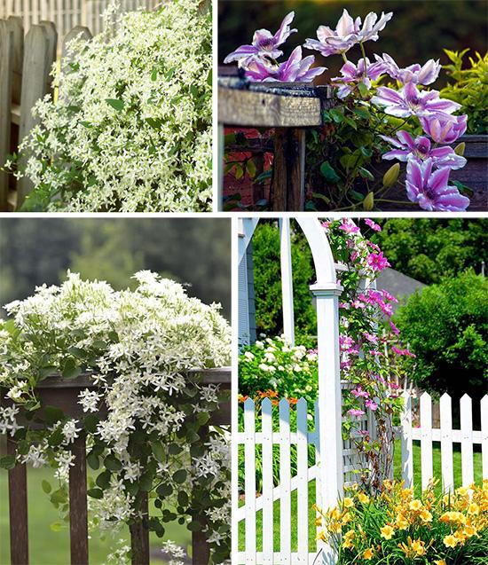 Клематисы, украшающие сад