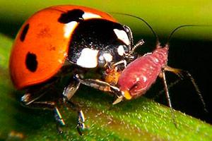божьи коровки борются с муравьями