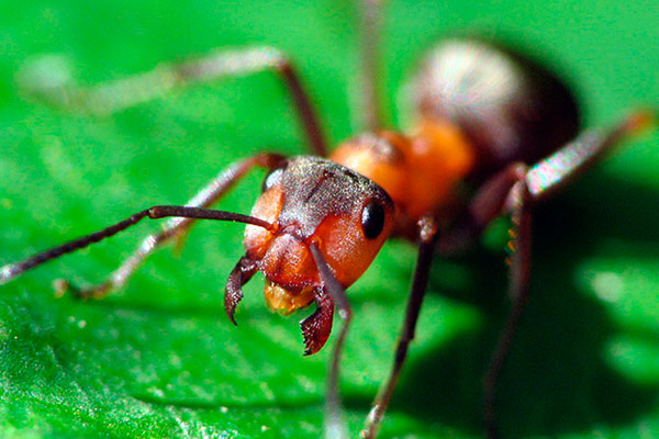 муравьи на даче