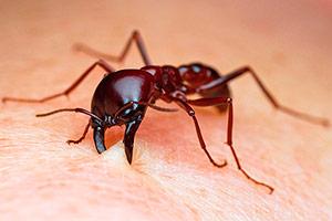 муравьиный укус