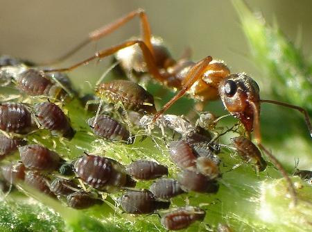 колонии муравьев