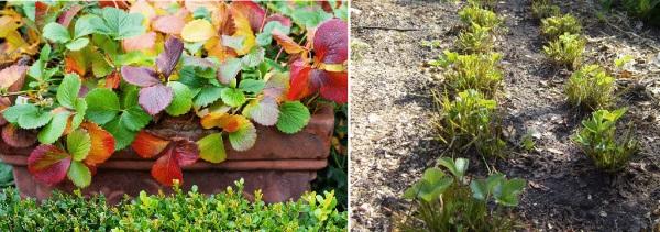 Уход за ремонтантной земляникой осенью
