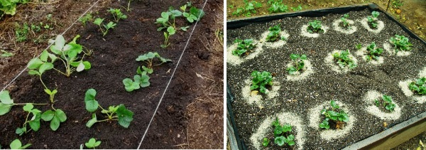 В каком месяце пересаживать клубнику осенью