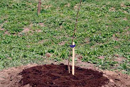 как посадить сливу осенью пошаговое руководство - фото 9