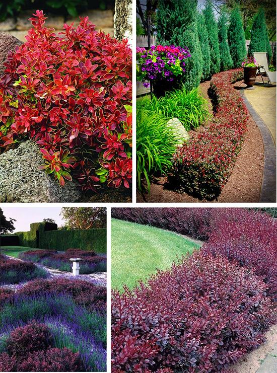 Яркий барбарис в садовом дизайне