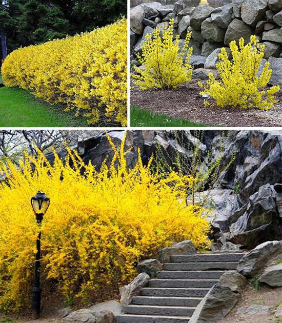 Очаровательная форзиция в весеннем цветении