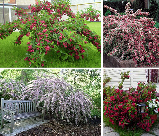 Ландшафтный дизайн цветущие кустарники