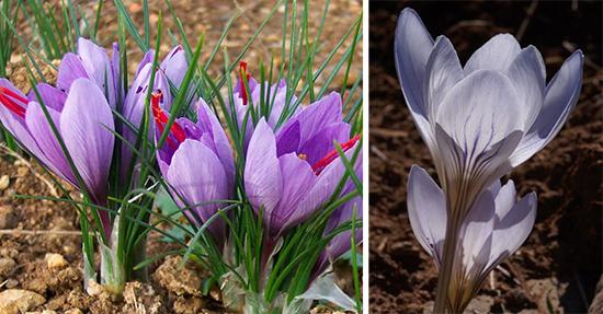 Crocus sativus, Сrocus cancellatus subsp. cancellatus