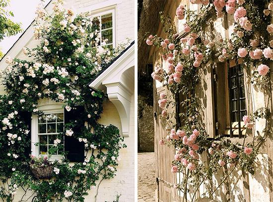 Цветущие розы у вашего окна