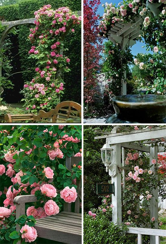 Вьющиеся розы в садовом убранстве