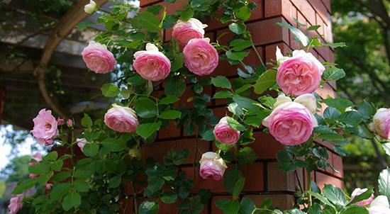 Садовые вьющиеся розы