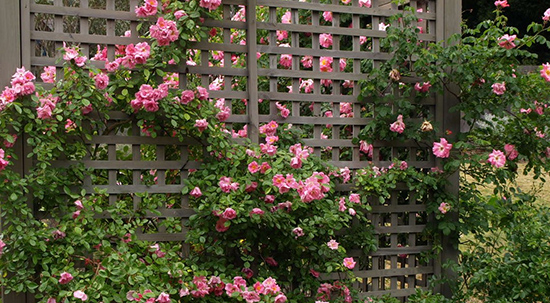 Разновидности плетистых роз