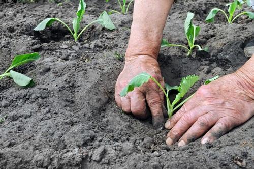 когда сажать рассаду капусты в грунт