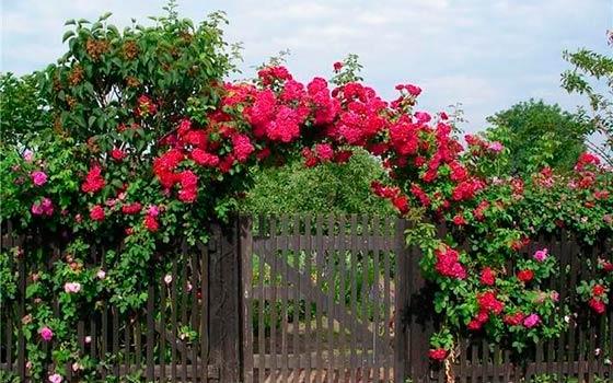 Шпалера для розы плетистой