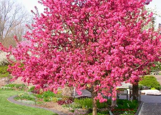 фото дерево райские яблочки
