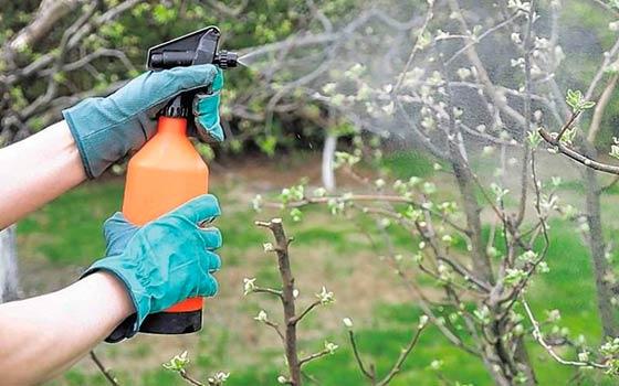как ухаживать за грушей в саду