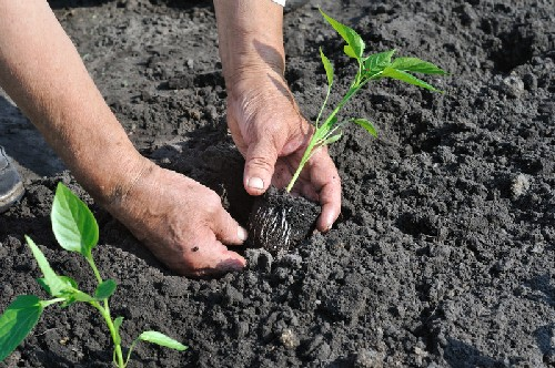 Как сажать рассаду перца в грунт