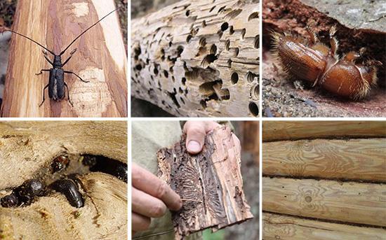 Вредители сада: жуки древоточцы
