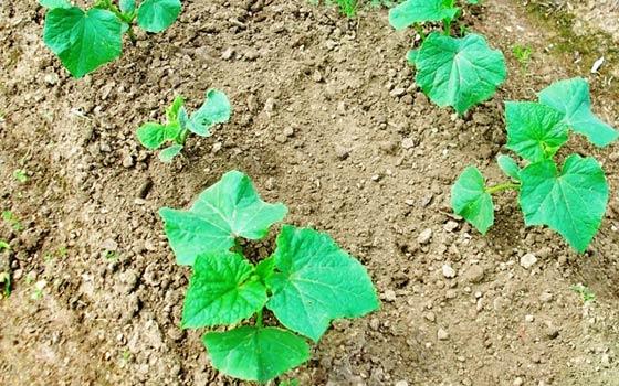 Посев огурцов в грунт