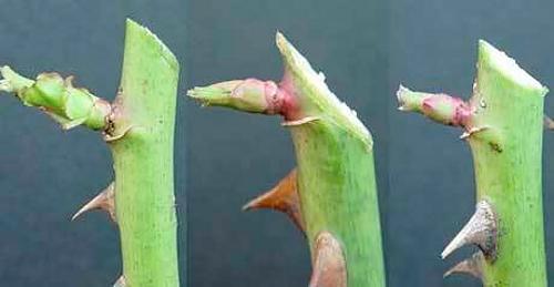 Как посадить розу из черенка в домашних условиях осенью