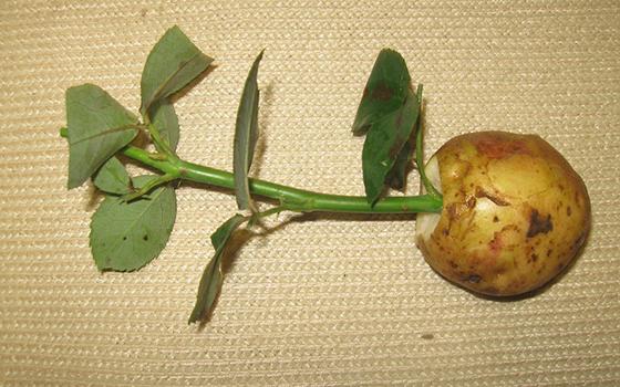 Как развести розу с черенка