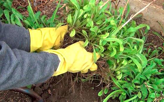 Ромашки садовые многолетние посадка и уход
