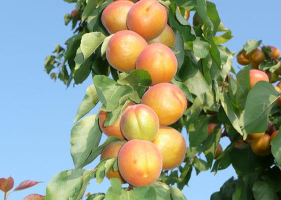 абрикос колоновидний