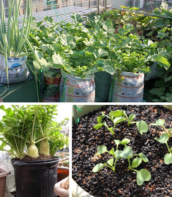 Выращиваем дайкон в мешках и контейнерах