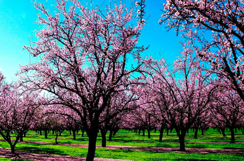 Расстояние между плодовыми деревьями при посадке