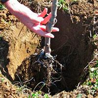 Как сажать деревья в глинистую почву 48