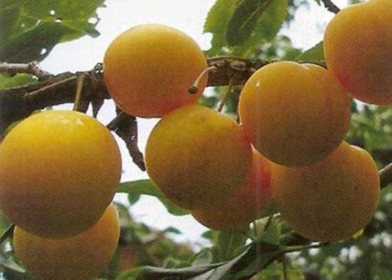 Выращивание алычи в сибири 74