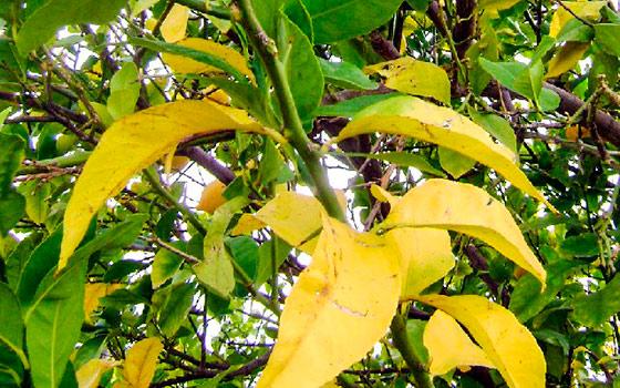 найти почему у абрикоса листья желто зеленые Сборной