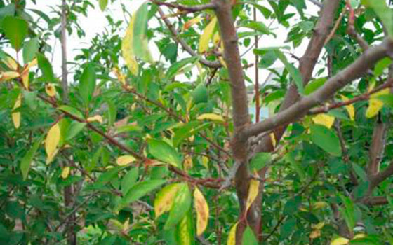 Почему листья у сливы желтеют листья