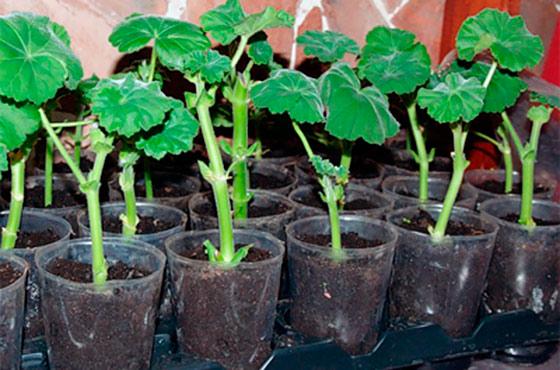 Выращивание калачика 91