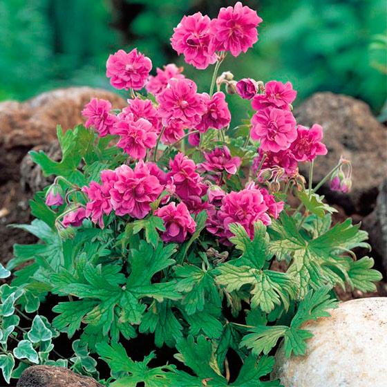 Герань садовая многолетняя сорта выращивание уход 69