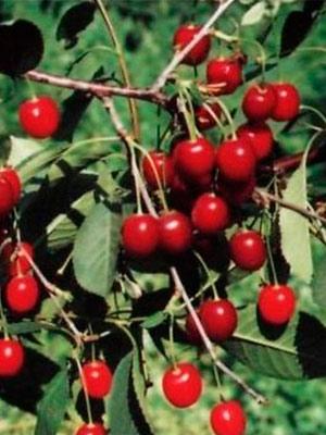 Лучшие сорта вишни для средней полосы россии