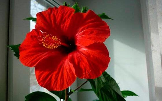 Цветок гибискус: фото уход в домашних условиях