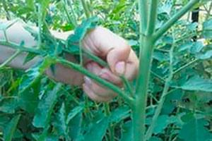 Фото как правильно пасынковать помидоры