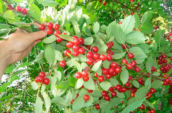 Выращивание вишни в сибири