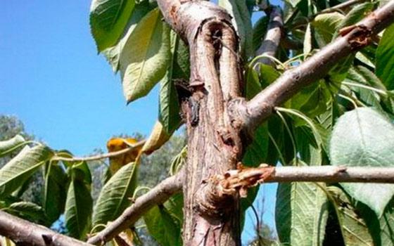 Желтеют листья на вишне чем обработать