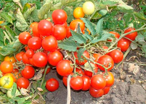 яблоки на снегу томат свойства