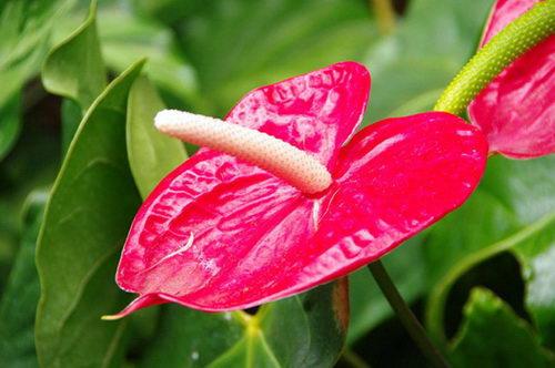 антуриум фото мужской цветок