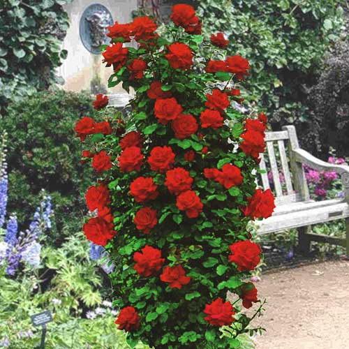 lavendler og roser