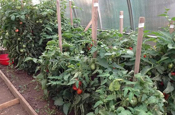 Как вырастить рассаду помидоров для теплиц 552